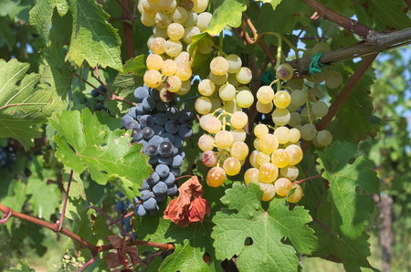 brunches: Brunches of grapes ready for harvest from an Italian wineyard