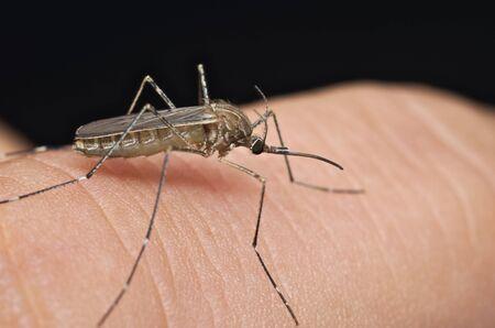 culicidae: Common house mosquito (Culex pipiens) preparing for bite human skin Stock Photo