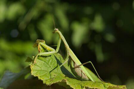 european mantis: European or praying mantis (Mantis religiosa) hunting in a garden