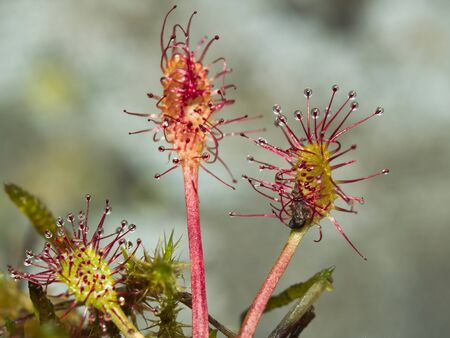 glandular: Round-leaved sundew (Drosera rotundifolia), carnivorous plant with an insect feeding Stock Photo
