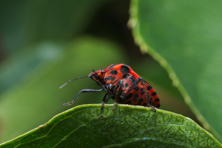 Ministrel or Italian Striped-Bug (Graphosoma lineatum) with red and black warning colors (Aposematism)