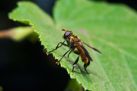 biological: Fly (Trichopoda pennipes) used as a biological control agent for These agricultural pests
