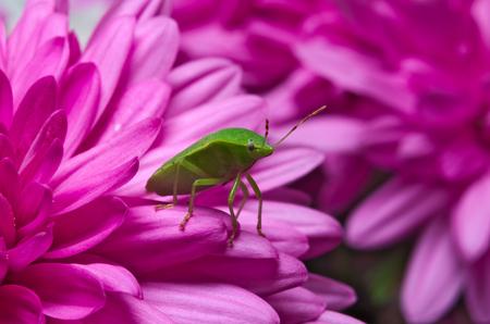 green shield bug: Green shield bug (Palomena prasina) on purple flowers