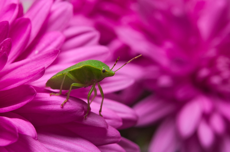 prasina: Green shield bug (Palomena prasina) on purple flowers