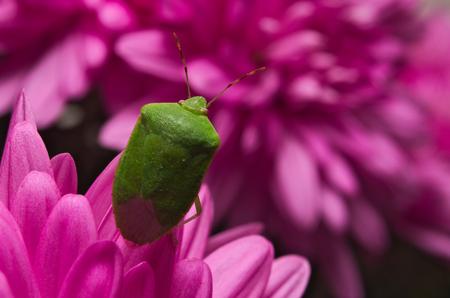palomena prasina: Green shield bug (Palomena prasina) on purple flowers