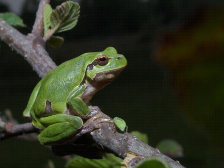 Italian tree frog (Hyla intermedia) climbing on the leaf of a bush or a tree