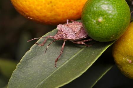 Punaise marbrée brune (Halyomorpha halys) sur une feuille verte d'un citronnier (Ita : Asian bug, Deu : Marmorierte Baumwanze ; Fra : Punaise diabolique : Spa : Bernat marbrejat)