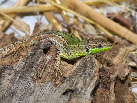 The Italian wall lizard, ruin lizard, or? Stanbul lizard (Podarcis siculus) taking morning sunbath in the Losinj Island, Croatia