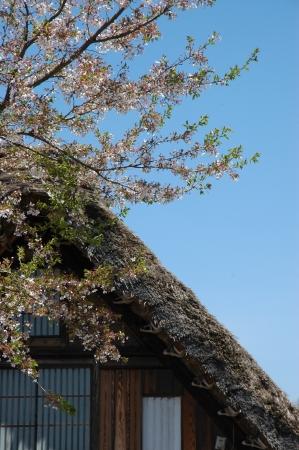 shirakawago: Shirakawago roof cherry