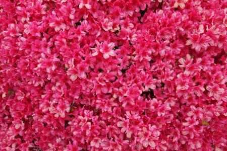 Textured background of beautiful red azalea flowers photo