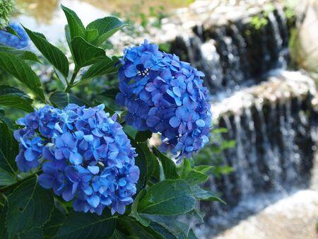 ebullient: Blue Hydrangea and Waterfall Stock Photo