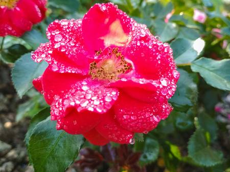 Red rose flower with water drops on green grass background. Fresh wet pink red garden rose. Amazing red rose. 版權商用圖片