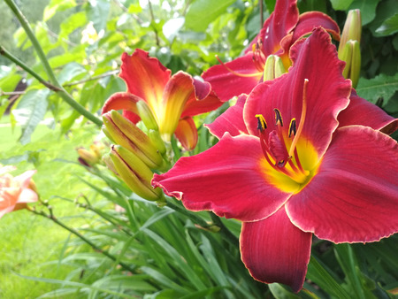 Blooming bright lily, hemerocallis in green garden. Variety day lily bud close up