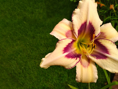 Blooming bright lily, hemerocallis in green garden. Variety day lily bud close up.
