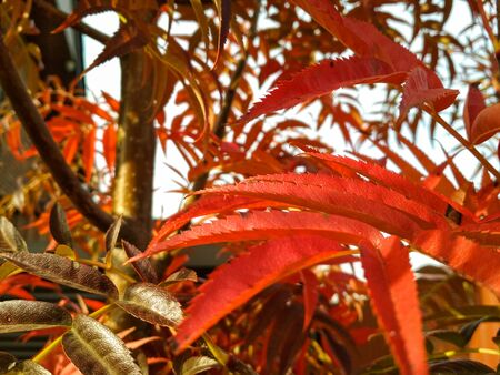 Red rowan leaves in autumn. colorful red rowan leaves in beautiful garden