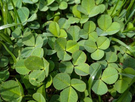 lot of fresh green clover background. Lucky Irish Four Leaf Clover. St. Patricks Day. Stockfoto