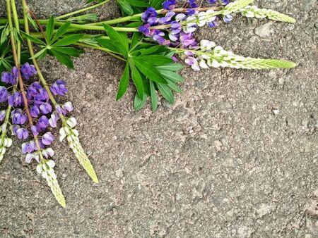 Lupine summer flower on gray Stock Photo