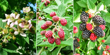 Collage of blackberries with unripe and ripe berries. picking sweet juicy blackberries.. Selective focus.