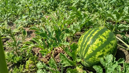 Green watermelon growing in the garden. Agriculture watermelon