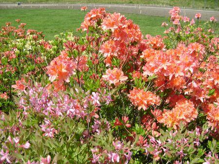 Flower azalea blooming in springtime. Background full of flowers Japanese pink Azalea.