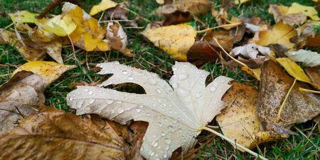 Water drop on autumn leaf. Drops of rain in the morning glow in the sun