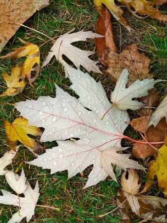Water drop on autumn leaf. Drops of rain in the morning glow in the sun.