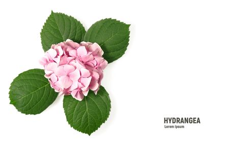 Pink flower of hydrangea isolated on a white background.