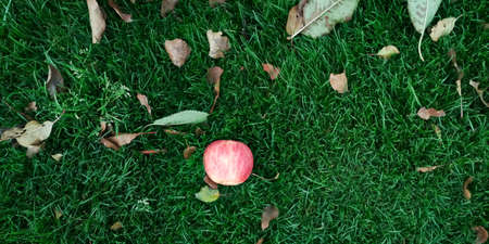 Red apple on grass in the garden. Lawn blur with soft light for background 写真素材