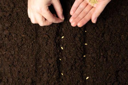 在土壤关闭的农夫手锯的种子。农民手种植种子,选择聚焦。