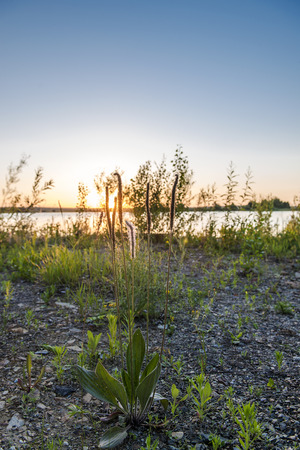 plantain: The Republic of Bashkortostan. Russia. Plantain herb on background of the setting sun.