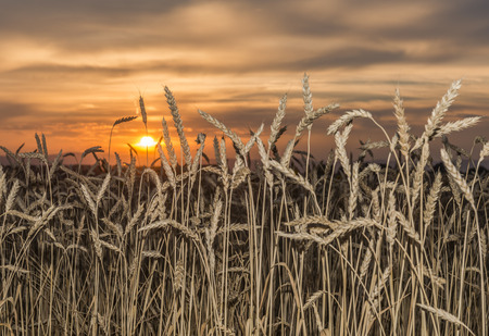 Golden ears of wheat on a background sunset.