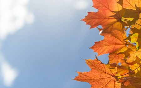Bright yellow maple leaves on blue sky background in the backlight.
