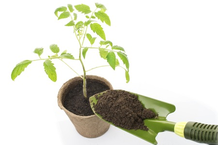 peat pot: Young tomato seedling in a pot with a garden trowel