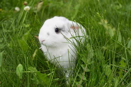 Living bunny on a meadow in spring. Easter.
