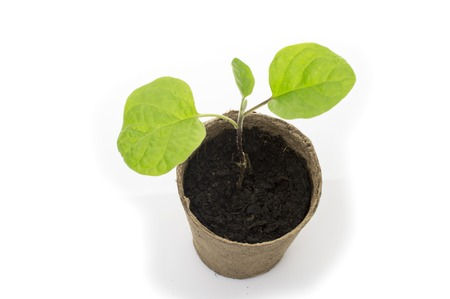 Young eggplant seedling in a pot with a garden trowel