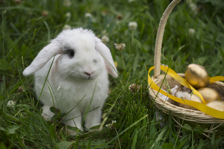 Living Easter bunny with golden eggs in a basket on a meadow in spring