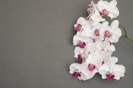 romantic branch of white orchid on gray background