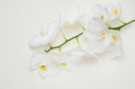 romantic branch of white orchid on beige background. Imagens
