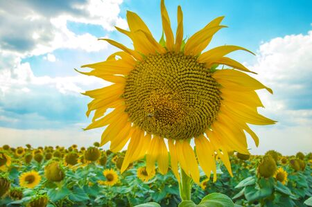 Sunflowers. Field of blooming sunflowers on a background blue sky 스톡 콘텐츠 - 128693123