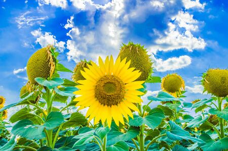 Sunflowers. Field of blooming sunflowers on a background blue sky 스톡 콘텐츠 - 128864942