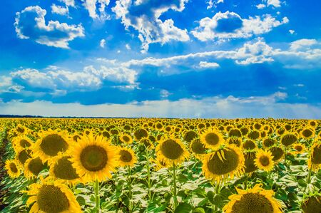 beautiful field of yellow sunflowers against the blue sky 스톡 콘텐츠