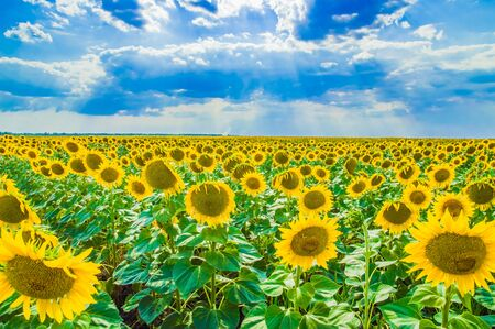 beautiful field of yellow sunflowers against the blue sky Imagens