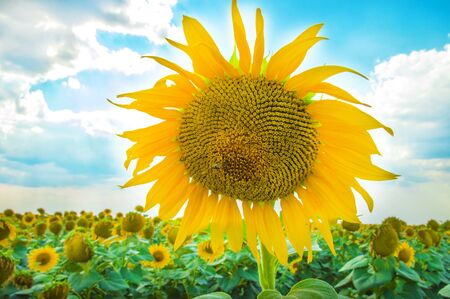 Sunflowers. Field of blooming sunflowers on a background blue sky 스톡 콘텐츠 - 129147457