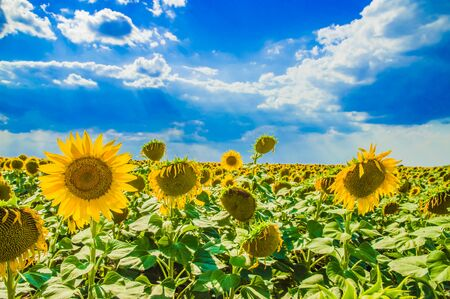 beautiful field of yellow sunflowers against the blue sky 스톡 콘텐츠 - 129147467