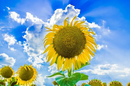 Sunflowers. Field of blooming sunflowers on a background blue sky. 스톡 콘텐츠 - 129346224