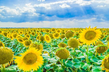 beautiful field of yellow sunflowers against the blue sky. Imagens