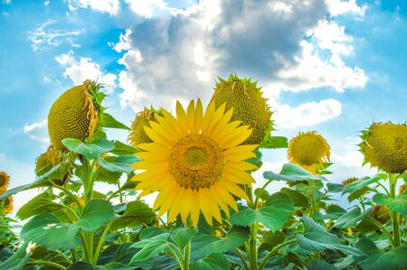 Sunflowers. Field of blooming sunflowers on a background blue sky.