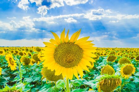 Sunflowers. Field of blooming sunflowers on a background blue sky 스톡 콘텐츠