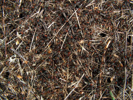 ameisenhaufen: nat�rlichen Hintergrund Ameisenhaufen Gruppenarbeit  Lizenzfreie Bilder