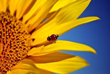 ladybugs na słonecznika. Close-up Zdjęcie Seryjne
